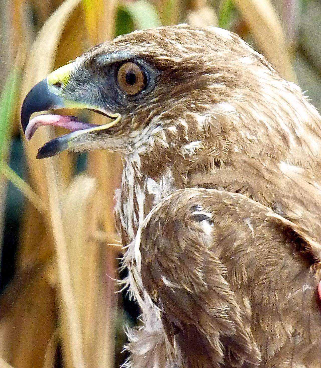 Close up of a Buzzard just before its release